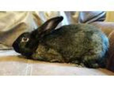 Adopt Reggie a Flemish Giant / Mixed rabbit in Plainfield, IN (25875290)