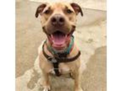 Adopt Angelo a Mastiff, Pit Bull Terrier