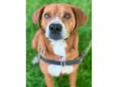 Adopt Campbell a Brown/Chocolate Hound (Unknown Type) / Boxer / Mixed dog in