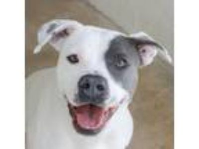 Adopt RUBY a White - with Tan, Yellow or Fawn American Staffordshire Terrier dog