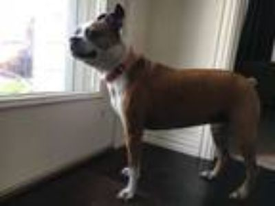 Adopt Bailee a Boston Terrier