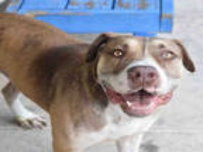 Adopt CHOPPER a Brown/Chocolate American Staffordshire Terrier / Mixed dog in