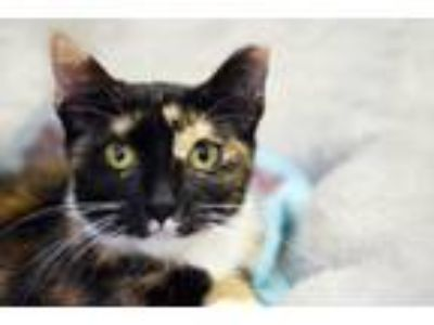 Adopt Spice a Domestic Short Hair