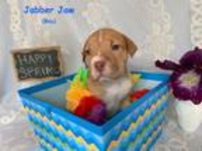 Adopt Jabber Jaw Talbot- A Cartoon Pup a Mountain Cur, Shar-Pei