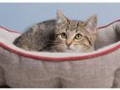 Adopt Eveness a Domestic Shorthair / Mixed (short coat) cat in Ashland