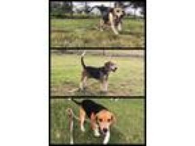 Adopt Moe a Tan/Yellow/Fawn - with White Beagle / Mixed dog in Allen