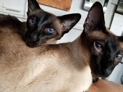Siamese available for adoption rehoming