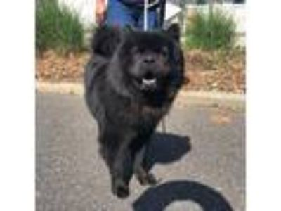 Adopt Shadow a Black Chow Chow / Mixed dog in Wantagh, NY (25277956)