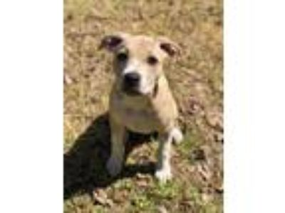 Adopt Boston a Tan/Yellow/Fawn - with White Pit Bull Terrier dog in oklahoma