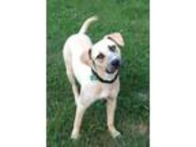 Adopt Zoey a Brown/Chocolate - with White Labrador Retriever / Mixed dog in