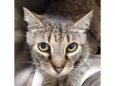 Adopt Manny a Domestic Medium Hair, Domestic Short Hair