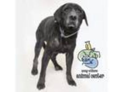 Adopt Max a Black Labrador Retriever dog in Knoxville, TN (25273676)