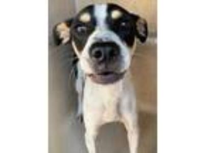 Adopt a White - with Black Rat Terrier / Mixed dog in San Antonio, TX (25859773)