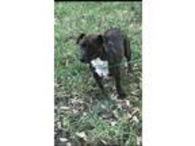 Adopt Daisy Dachshund a Brindle Dachshund / Mixed dog in Mesquite, TX (22126132)