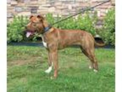 Adopt CUPCAKE a Red/Golden/Orange/Chestnut American Pit Bull Terrier / Mixed dog