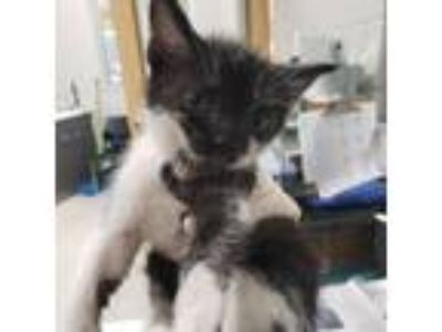 Adopt Candy Land a All Black Domestic Shorthair cat in Jacksonville