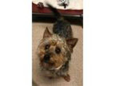 Adopt Tank a Yorkshire Terrier