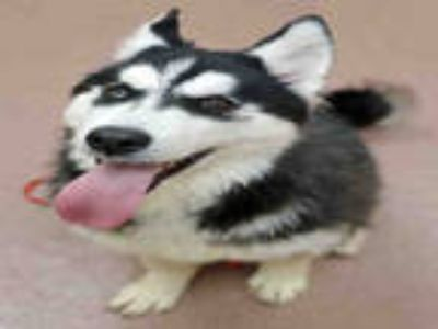 Adopt ORION a Black - with White Husky / Alaskan Malamute / Mixed dog in Ogden
