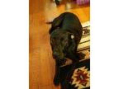 Adopt Doggie a Black Labrador Retriever / American Pit Bull Terrier / Mixed dog