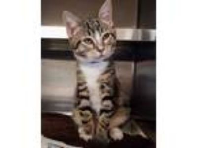 Adopt Rover a Gray or Blue Domestic Shorthair / Domestic Shorthair / Mixed cat