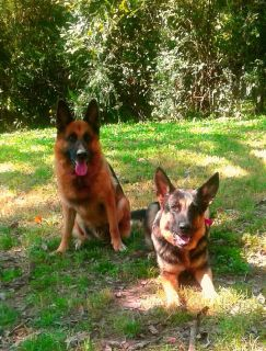 Akc Reg. German Shepherd Puppies For Sale
