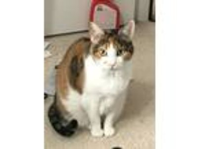 Adopt Cali a Calico or Dilute Calico Calico / Mixed cat in Bonaire