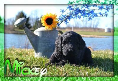 Mickey Male Labradoodle