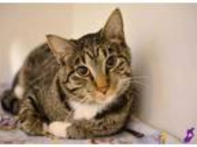 Adopt BABY CAT a Brown Tabby Domestic Shorthair / Mixed (short coat) cat in