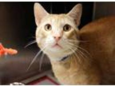 Adopt Brad a Orange or Red Domestic Shorthair / Domestic Shorthair / Mixed cat