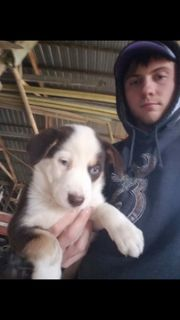 Australian Shepherd-Siberian Husky Mix PUPPY FOR SALE ADN-104297 - 2 adorable puppies for sale