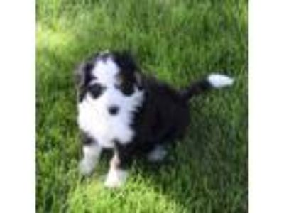 Puppy Animals And Pets For Adoption Classifieds In