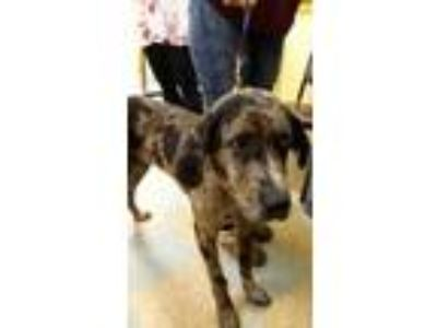 Adopt Flapjack a Black Catahoula Leopard Dog / Mixed dog in Ottumwa