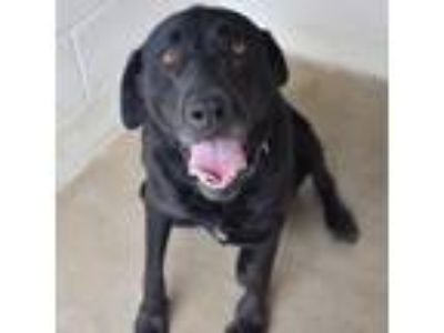 Adopt SHADOW a Black Labrador Retriever, Rottweiler