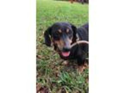 Adopt Gerald a Dachshund / Mixed dog in Weston, FL (24639961)