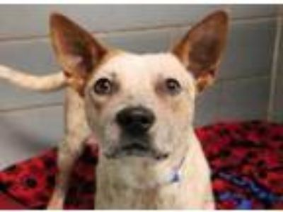 Adopt Caesar a White Australian Cattle Dog / Mixed dog in Chicago, IL (24968887)
