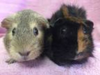 Adopt Juniper (bonded to Forsythia) a Black Guinea Pig small animal in Imperial