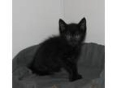 Adopt Farruca (baby boy) a All Black Domestic Shorthair / Mixed (short coat) cat