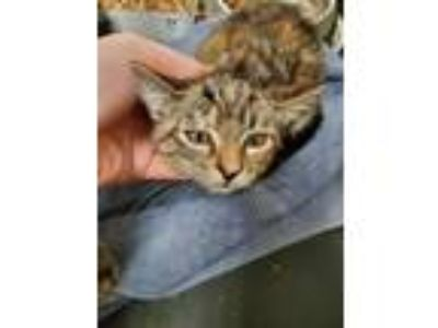 Adopt Glitter Queen 14158 a Gray or Blue Domestic Shorthair (short coat) cat in
