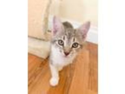 Adopt Lex a Gray, Blue or Silver Tabby Domestic Shorthair (short coat) cat in