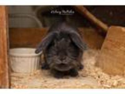 Adopt Roo a Blue Lionhead / Mixed (medium coat) rabbit in Landenberg