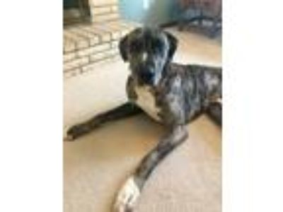 Adopt Gibson a Brindle Great Dane / Mixed dog in Minneapolis, MN (25035981)