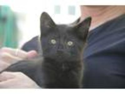 Adopt Cubby Bear a All Black Domestic Shorthair / Mixed cat in Oradell