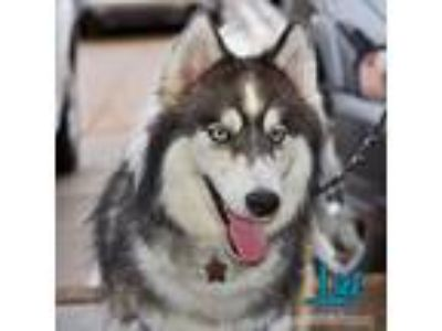 Adopt Lief a Gray/Silver/Salt & Pepper - with White Siberian Husky / Mixed dog