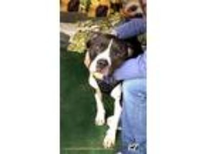Adopt Beautiful Puddles a American Staffordshire Terrier