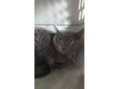 Adopt Simba a Gray or Blue Russian Blue / Domestic Shorthair / Mixed cat in