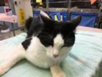 Adopt Charmin (mcas) a Domestic Medium Hair