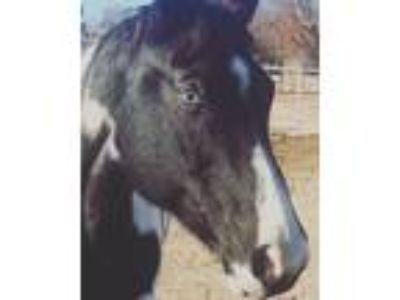 Positively A Rose Blue Eyed Black Tobiano Paint Mare Registered APHA