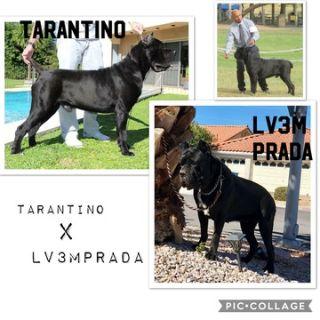 Cane Corso PUPPY FOR SALE ADN-105544 - Champion Cane Corso Puppies
