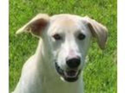 Adopt Q-ball a Yellow Labrador Retriever, Shepherd