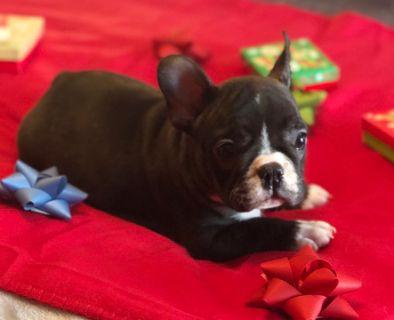 French Bulldog PUPPY FOR SALE ADN-108349 - French Bulldog Puppy